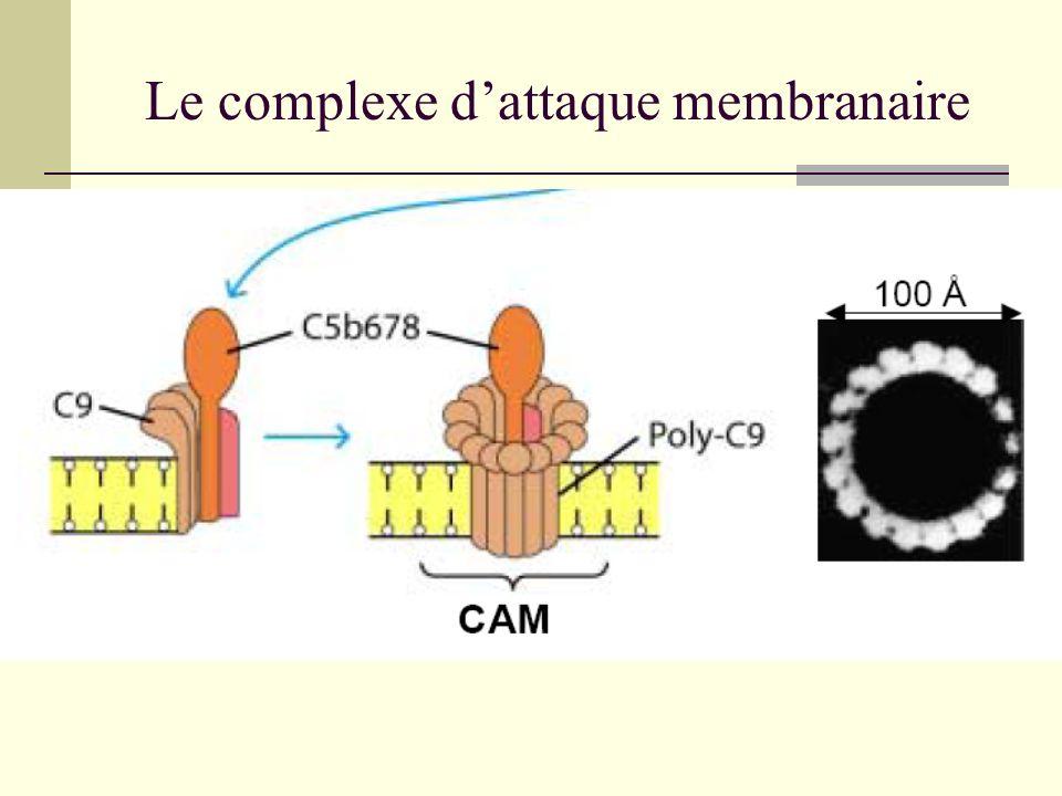 Le complexe d'attaque membranaire