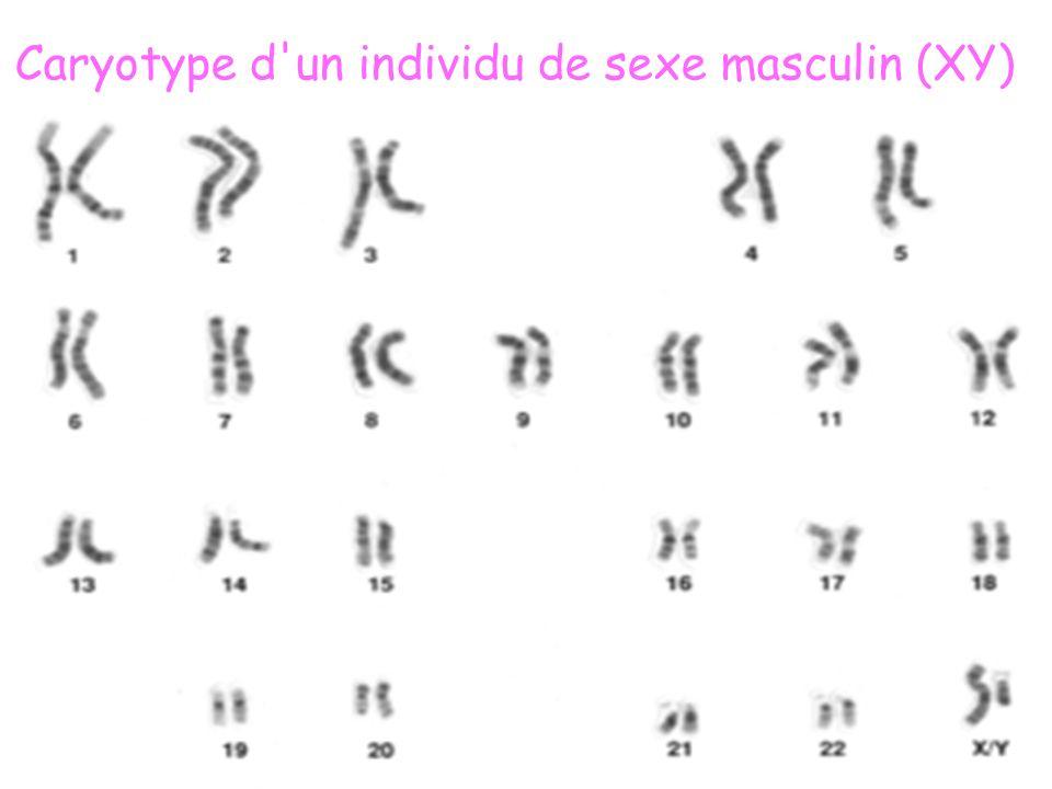 Caryotype d un individu de sexe masculin (XY)