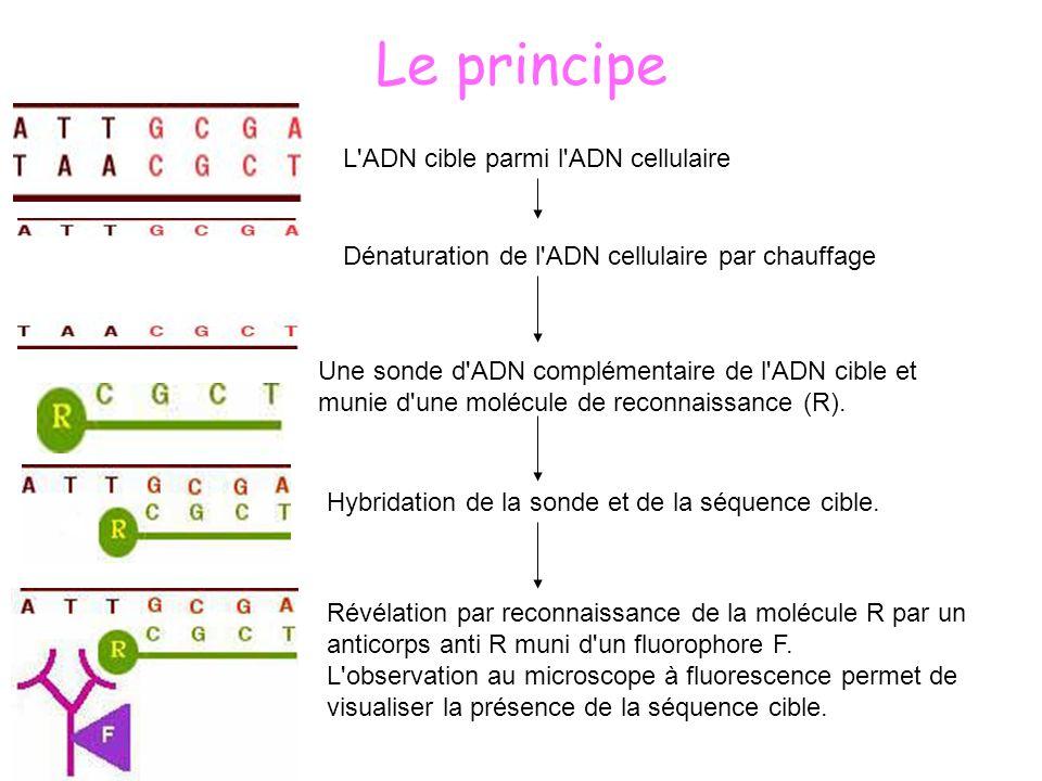 Le principe L ADN cible parmi l ADN cellulaire
