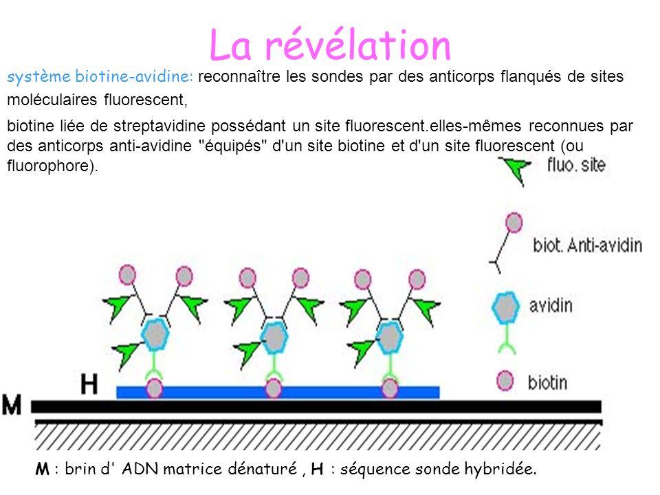 La révélation système biotine-avidine: reconnaître les sondes par des anticorps flanqués de sites moléculaires fluorescent,
