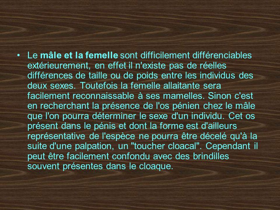 Le mâle et la femelle sont difficilement différenciables extérieurement, en effet il n existe pas de réelles différences de taille ou de poids entre les individus des deux sexes.