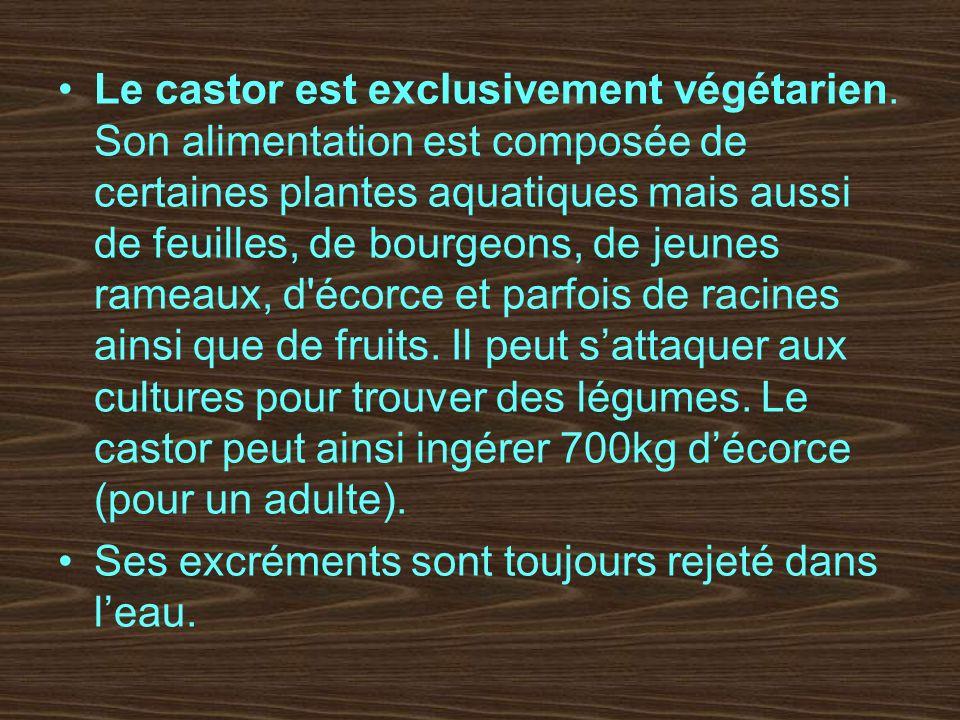 Le castor est exclusivement végétarien