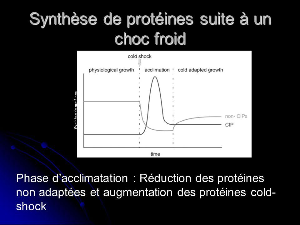 Synthèse de protéines suite à un choc froid
