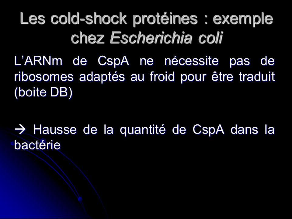 Les cold-shock protéines : exemple chez Escherichia coli