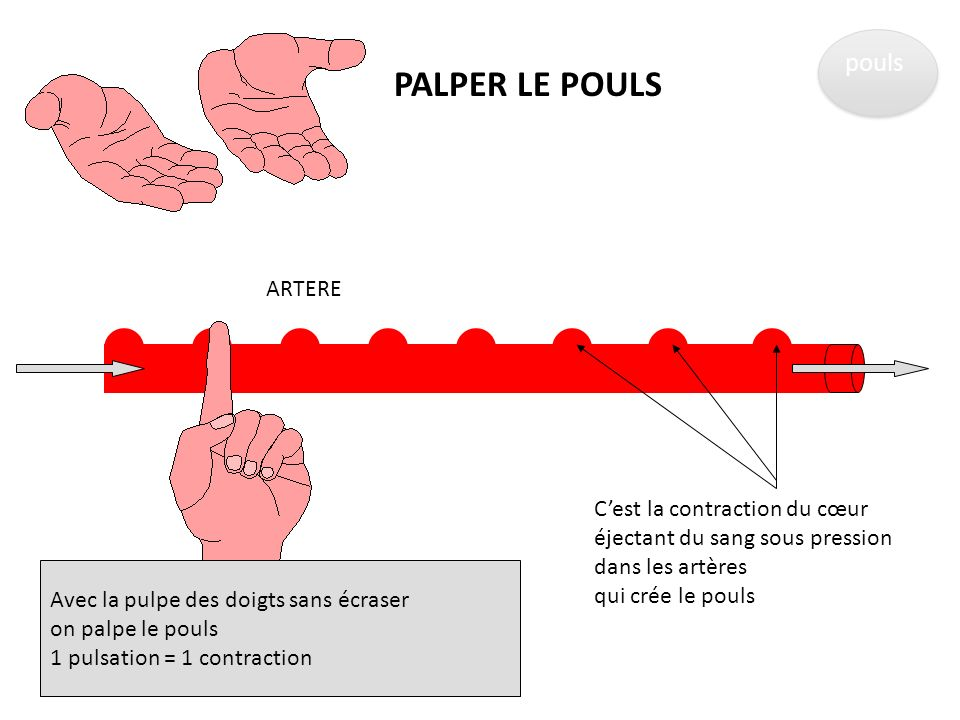 PALPER LE POULS pouls ARTERE C'est la contraction du cœur