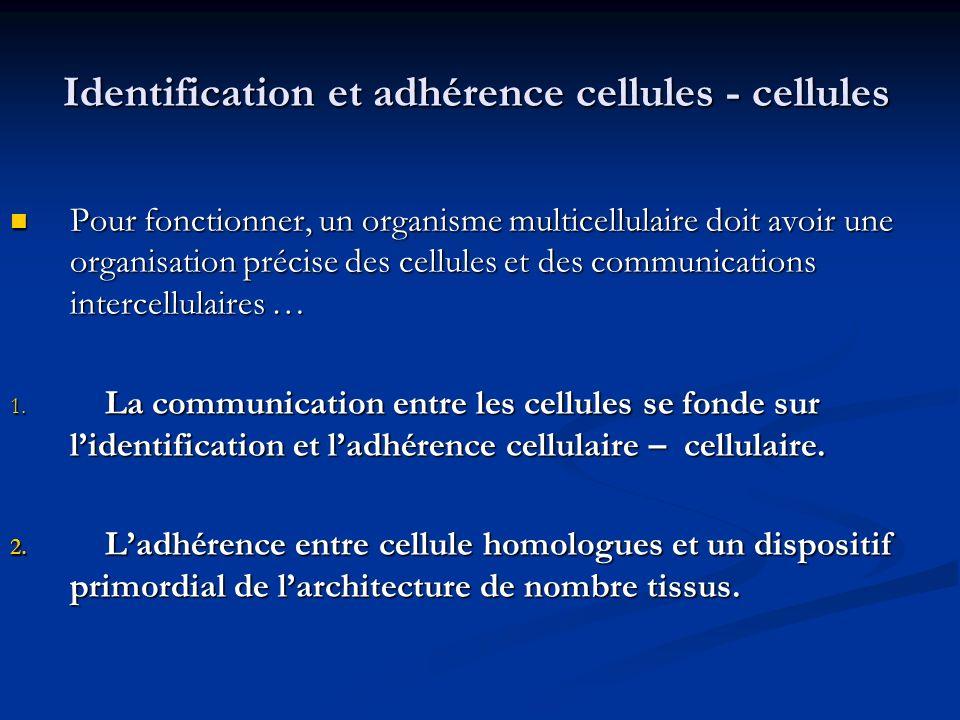 Identification et adhérence cellules - cellules
