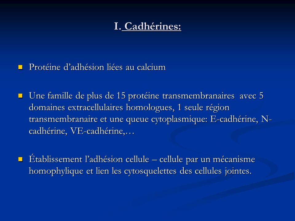 I. Cadhérines: Protéine d'adhésion liées au calcium