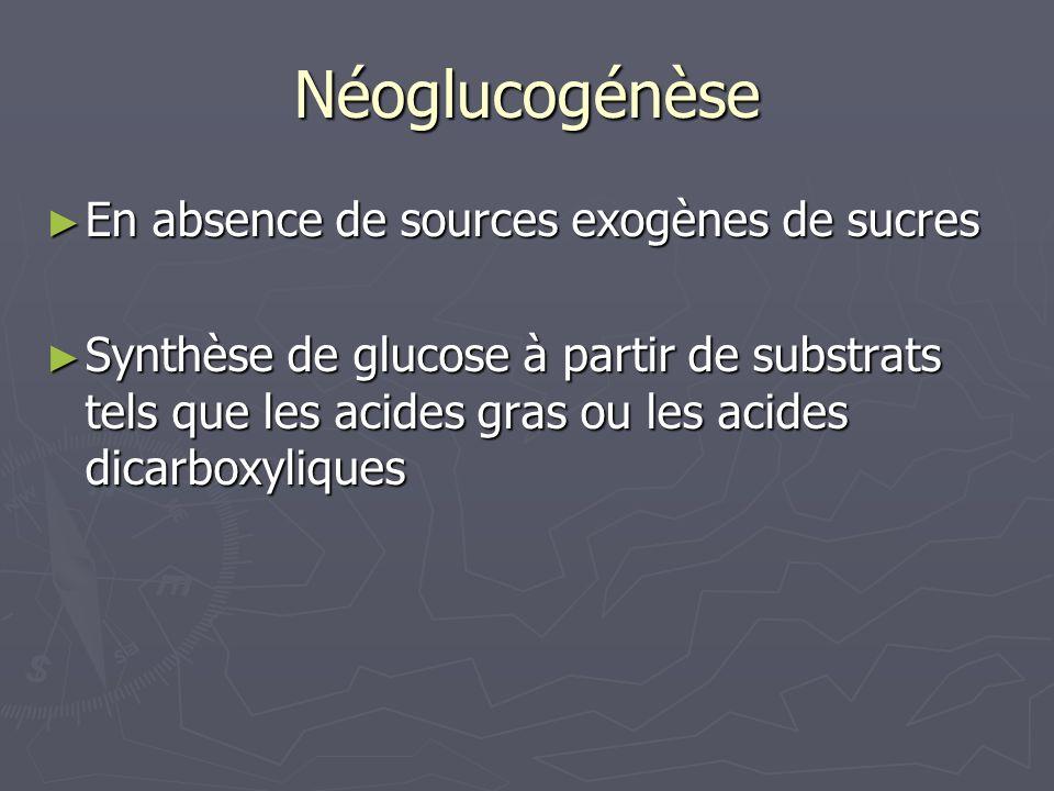 Néoglucogénèse En absence de sources exogènes de sucres