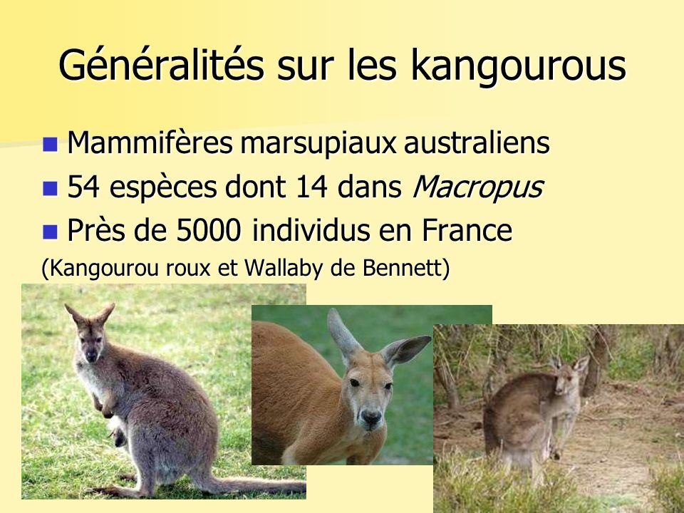 Généralités sur les kangourous