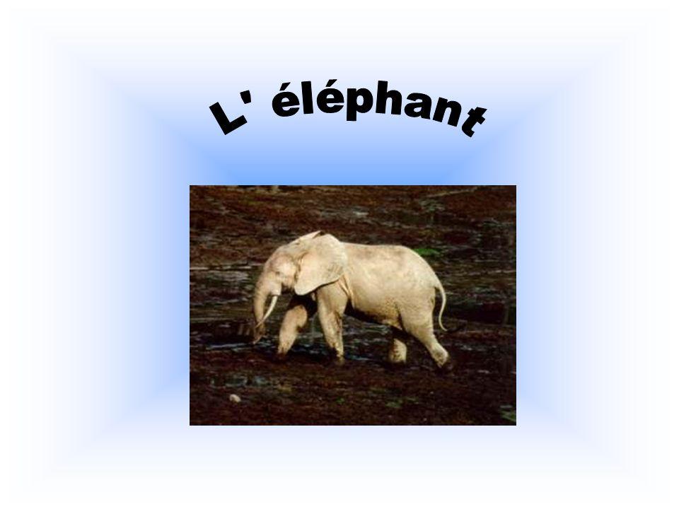 L éléphant