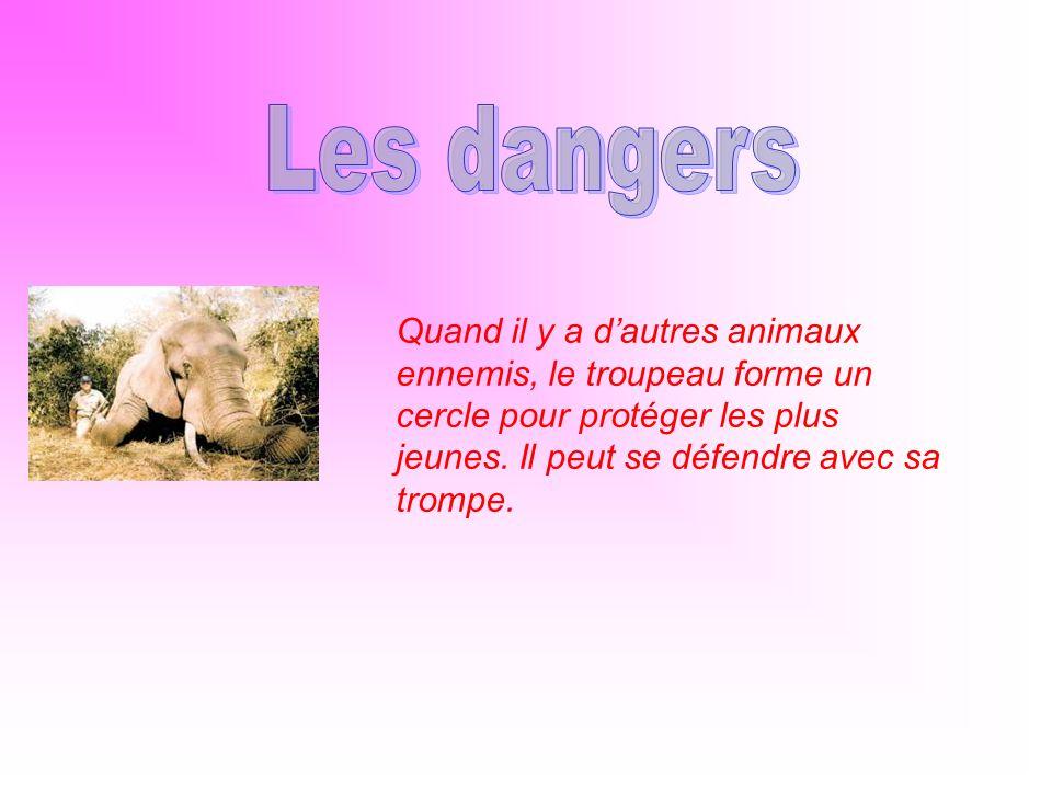 Les dangers Quand il y a d'autres animaux ennemis, le troupeau forme un cercle pour protéger les plus jeunes.