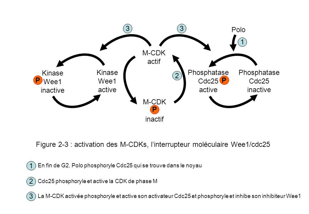 M-CDK actif inactif P Phosphatase Cdc25 active inactive Kinase Wee1 2