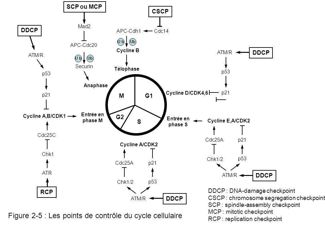 Figure 2-5 : Les points de contrôle du cycle cellulaire