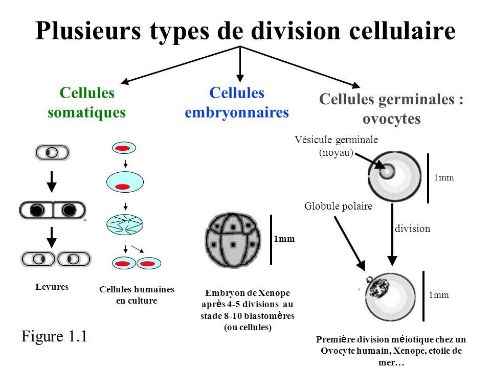 Plusieurs types de division cellulaire