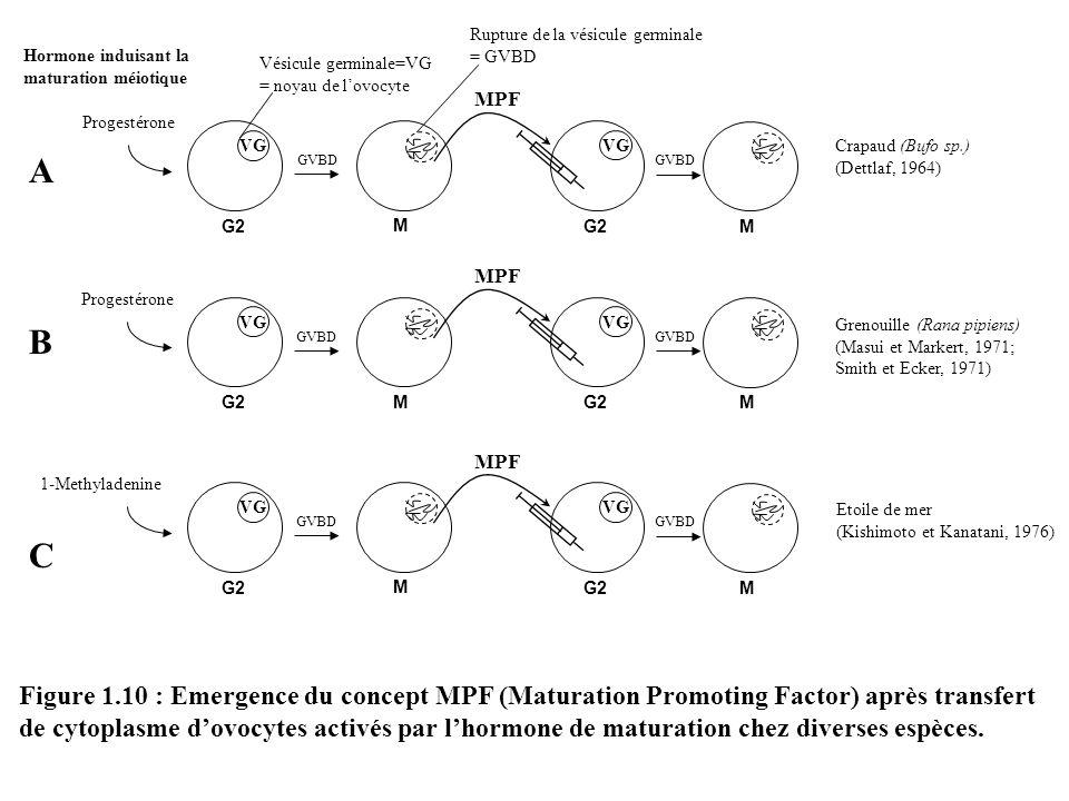 Rupture de la vésicule germinale