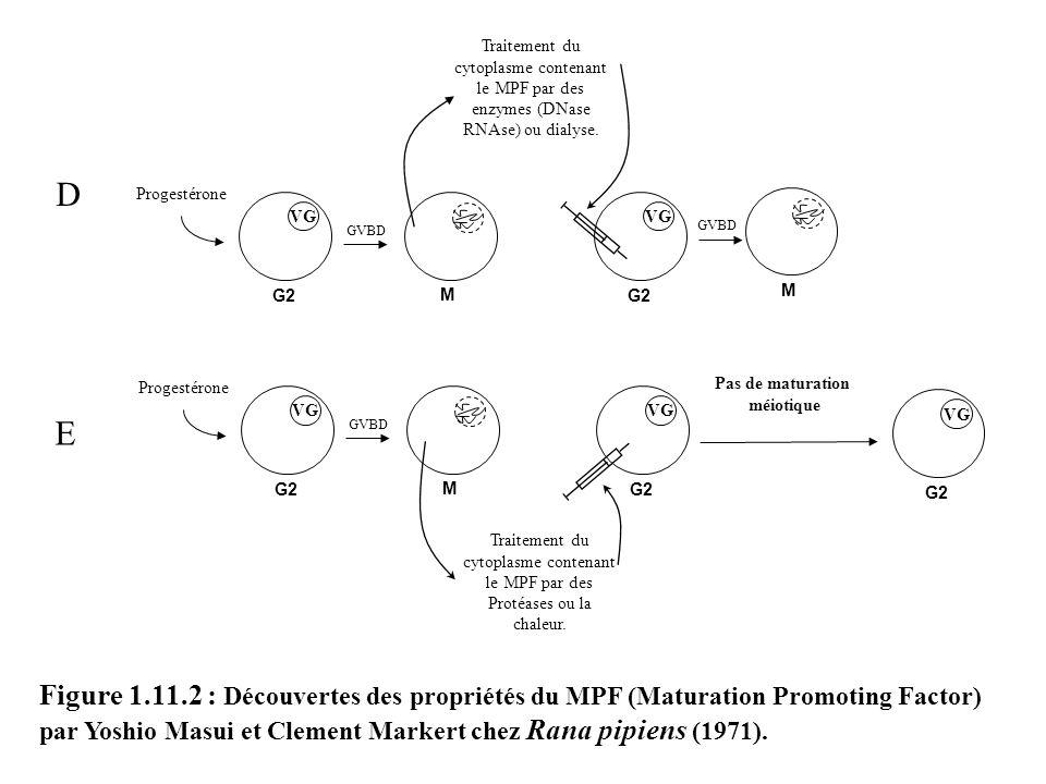 Traitement du cytoplasme contenant le MPF par des enzymes (DNase RNAse) ou dialyse.