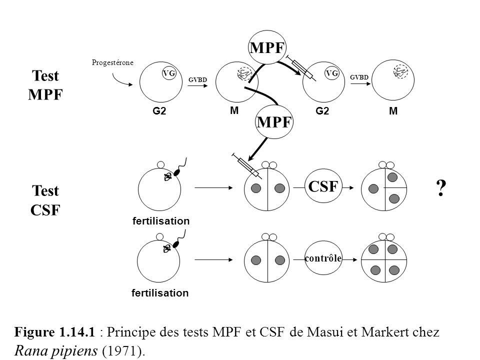 MPF Progestérone. Test. MPF. CSF. VG. VG. GVBD. GVBD. G2. M. G2. M. MPF. CSF. fertilisation.