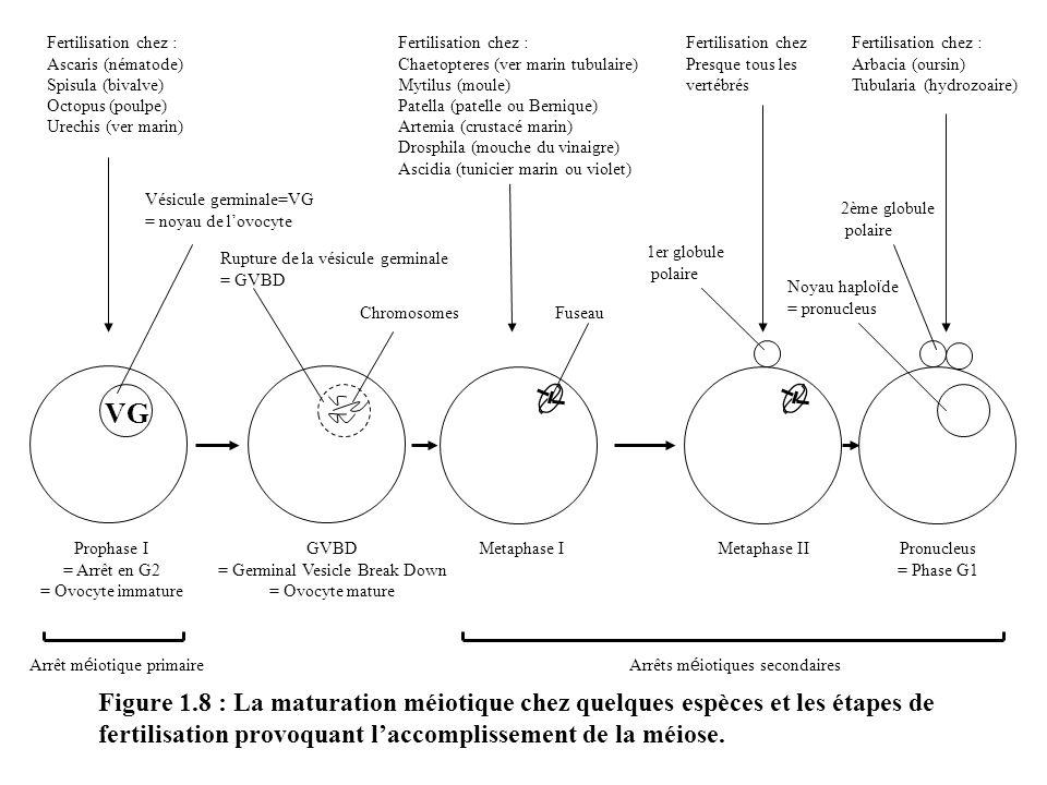 Fertilisation chez : Ascaris (nématode) Spisula (bivalve) Octopus (poulpe) Urechis (ver marin) Fertilisation chez :