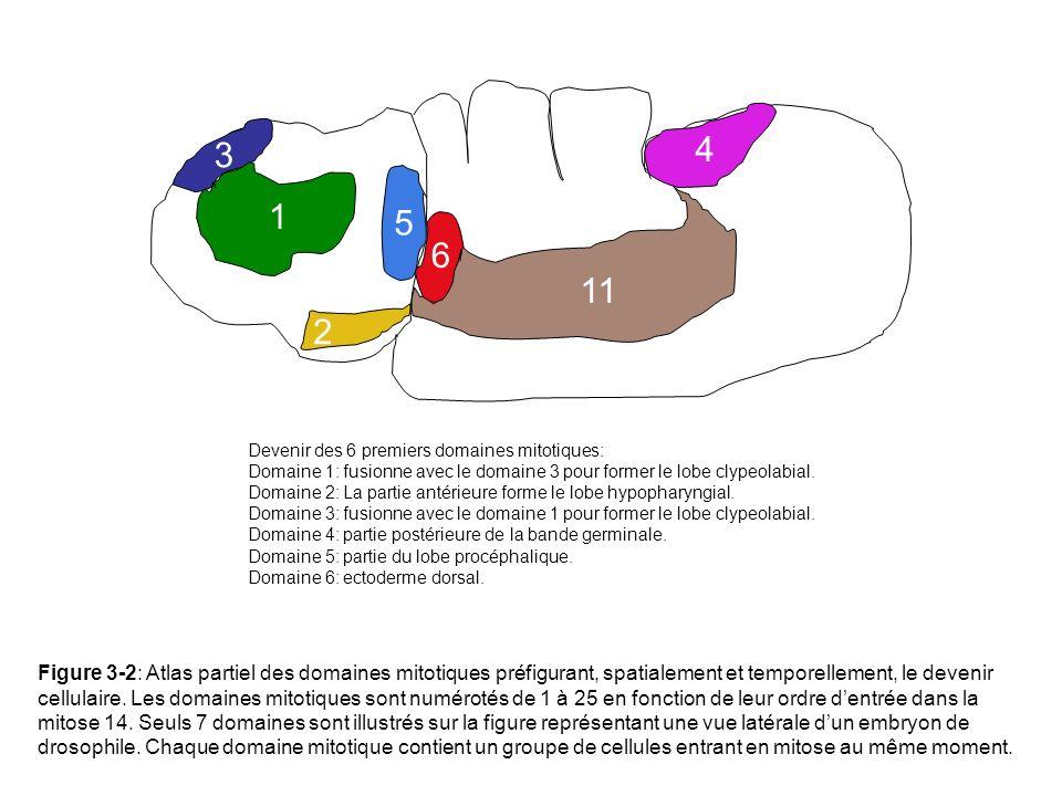 1 2. 3. 4. 5. 6. 11. Devenir des 6 premiers domaines mitotiques: Domaine 1: fusionne avec le domaine 3 pour former le lobe clypeolabial.