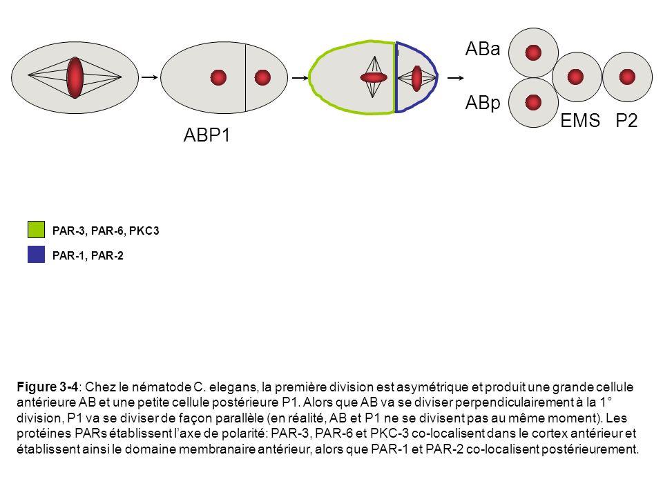 ABP1 EMS P2. ABa. ABp. PAR-3, PAR-6, PKC3. PAR-1, PAR-2.