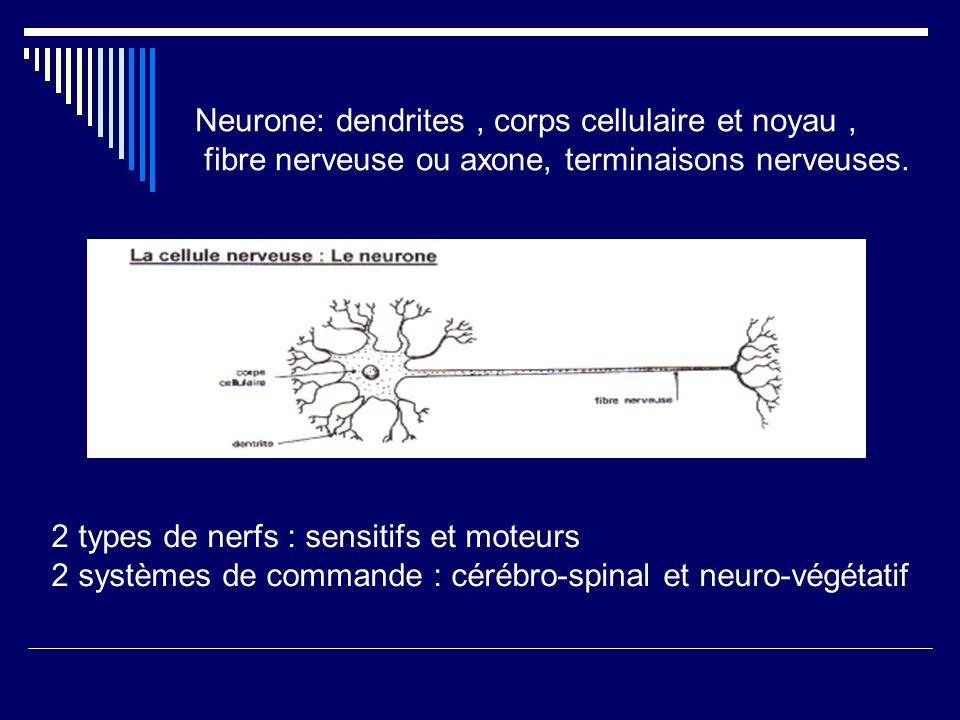 Neurone: dendrites , corps cellulaire et noyau ,