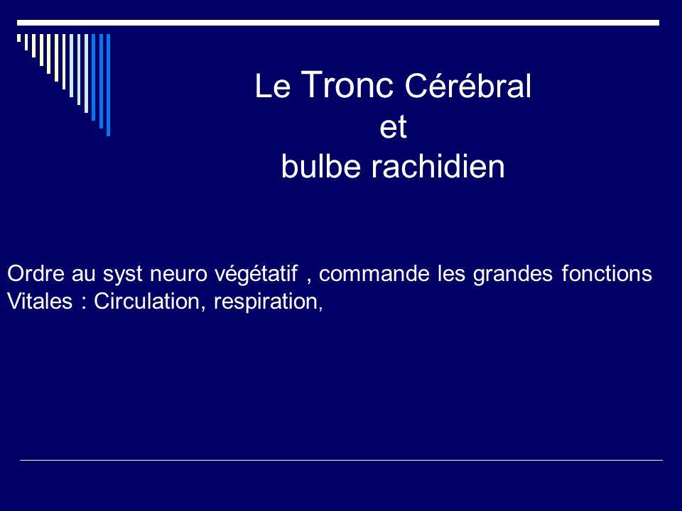 Le Tronc Cérébral et bulbe rachidien