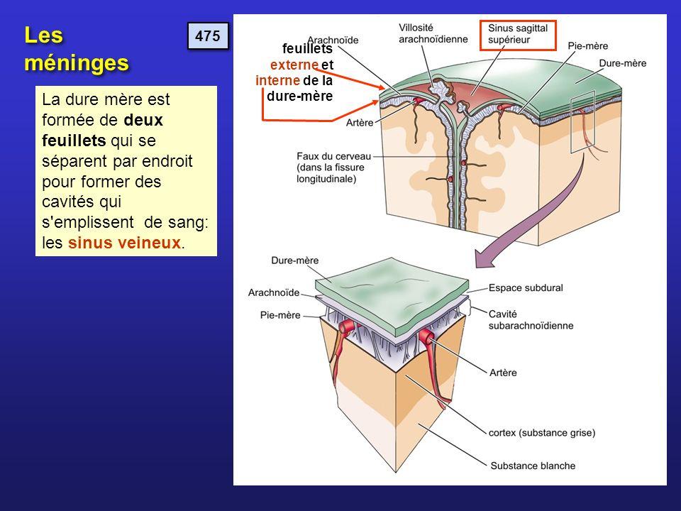 Les méninges 475. feuillets externe et interne de la dure-mère.