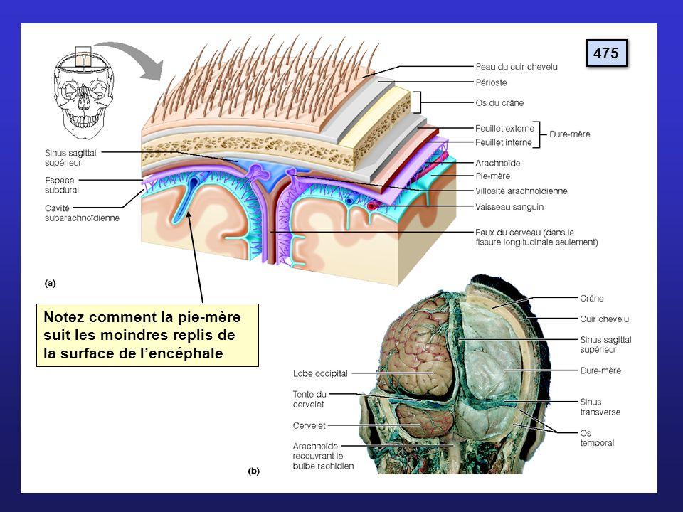 475 Notez comment la pie-mère suit les moindres replis de la surface de l'encéphale