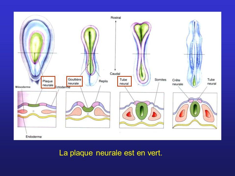 La plaque neurale est en vert.