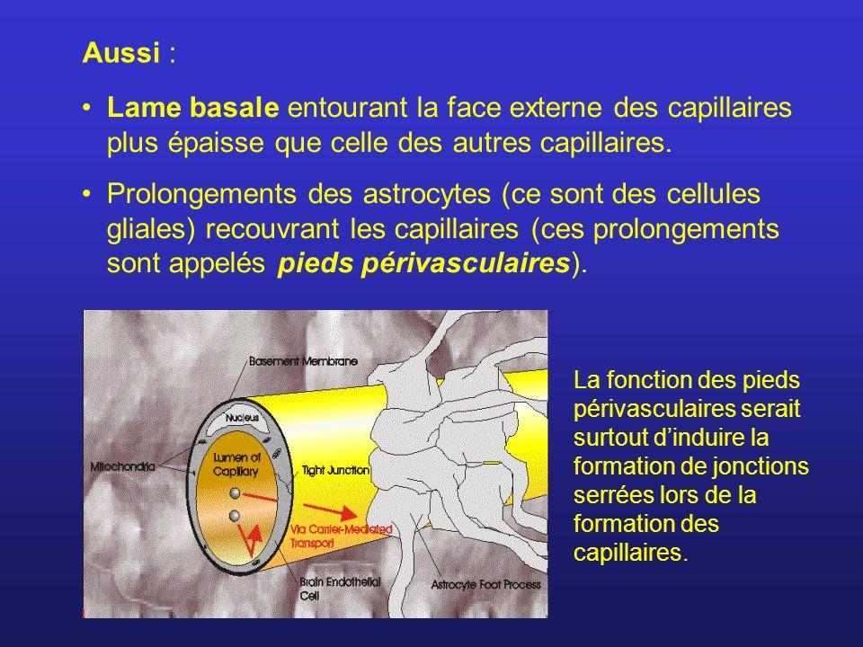 Aussi : Lame basale entourant la face externe des capillaires plus épaisse que celle des autres capillaires.