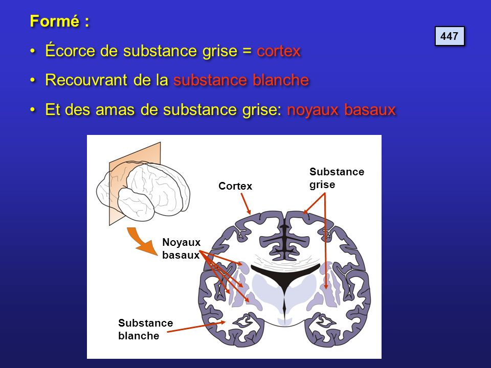 Écorce de substance grise = cortex Recouvrant de la substance blanche