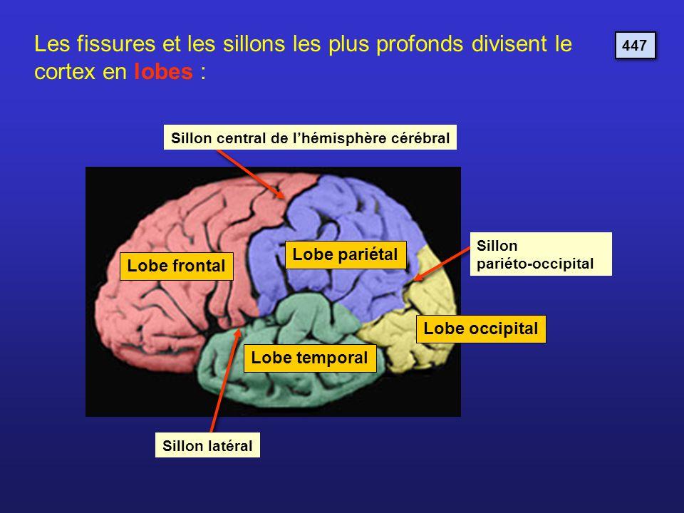 Les fissures et les sillons les plus profonds divisent le cortex en lobes :