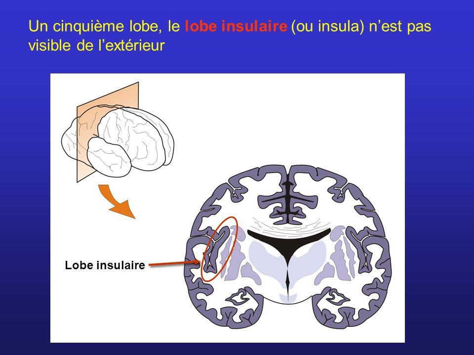 Un cinquième lobe, le lobe insulaire (ou insula) n'est pas visible de l'extérieur