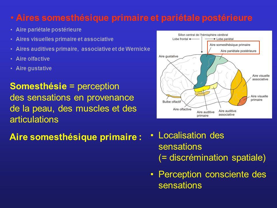 Aires somesthésique primaire et pariétale postérieure