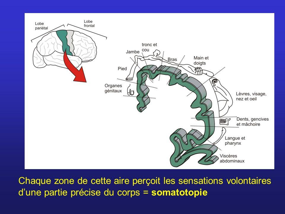 Chaque zone de cette aire perçoit les sensations volontaires d'une partie précise du corps = somatotopie