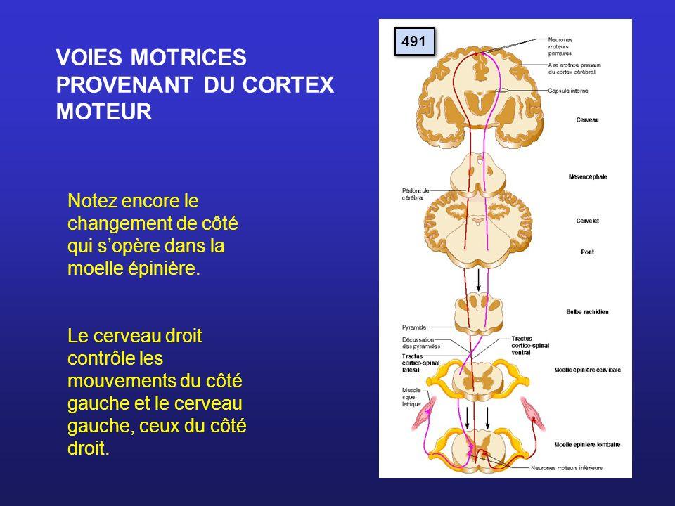 VOIES MOTRICES PROVENANT DU CORTEX MOTEUR
