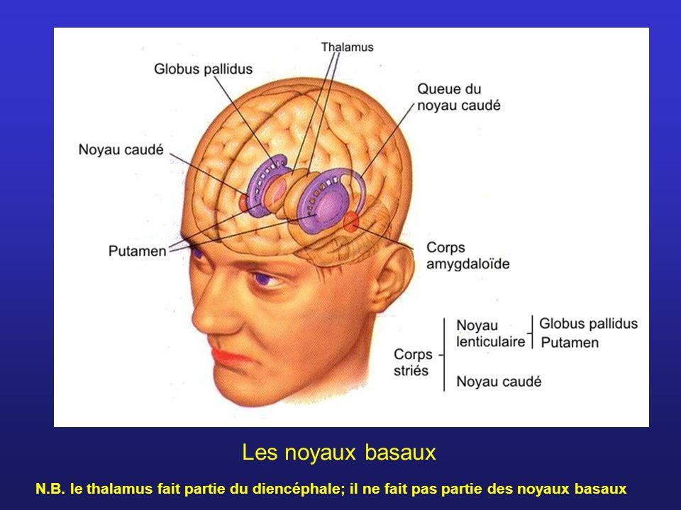 Les noyaux basaux N.B.