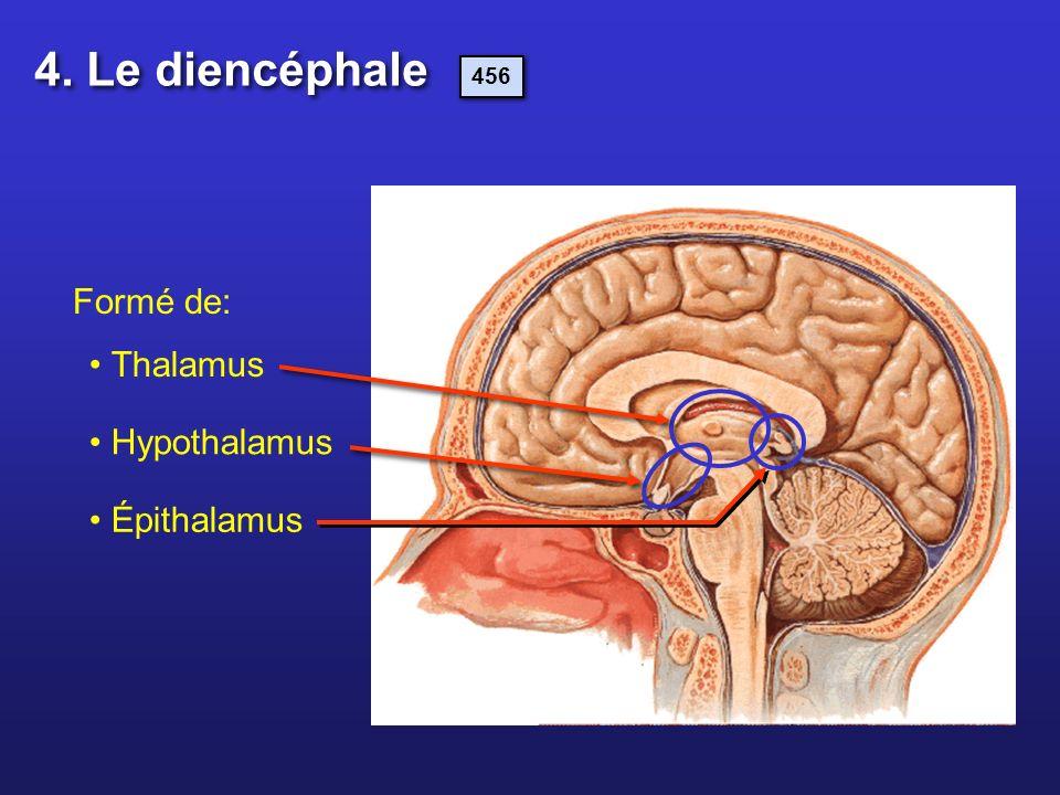 4. Le diencéphale 456 Formé de: Thalamus Hypothalamus Épithalamus