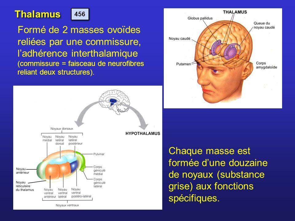 Thalamus 456.