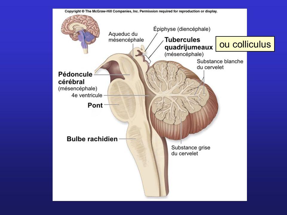 ou colliculus