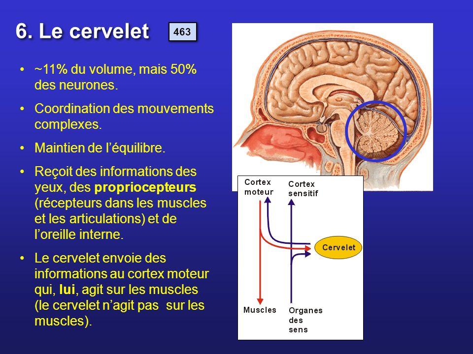 6. Le cervelet ~11% du volume, mais 50% des neurones.