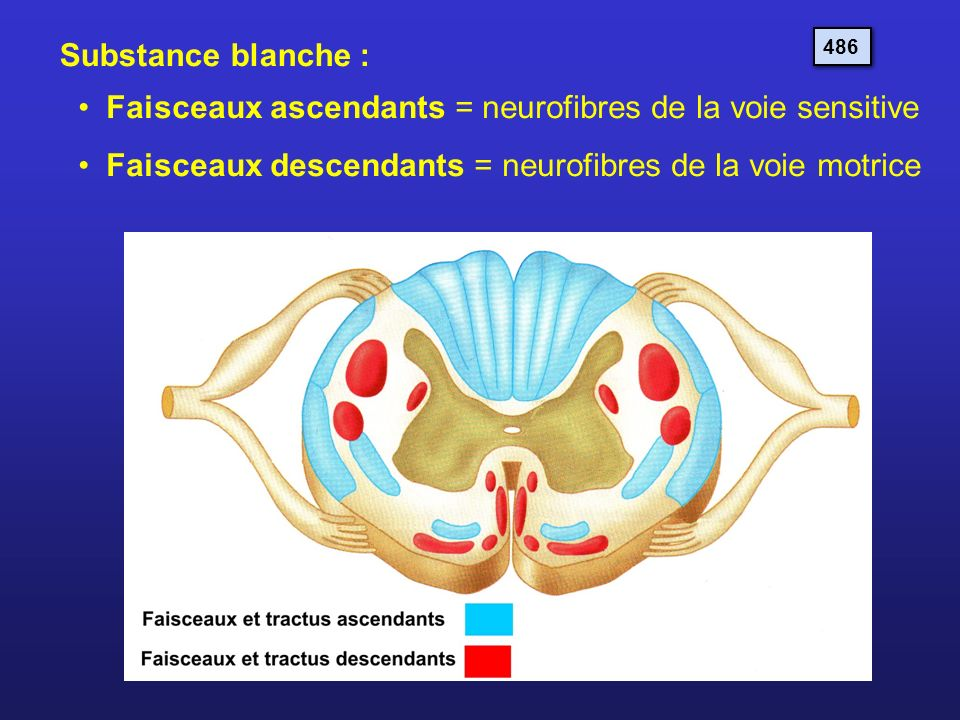 Faisceaux ascendants = neurofibres de la voie sensitive