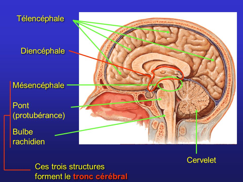 Télencéphale Diencéphale. Mésencéphale. Pont (protubérance) Bulbe rachidien. Ces trois structures forment le tronc cérébral.
