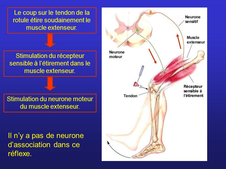 Stimulation du neurone moteur du muscle extenseur.