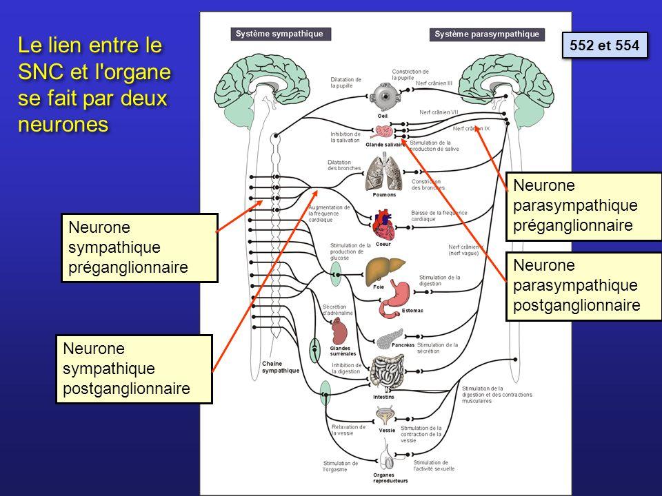 Le lien entre le SNC et l organe se fait par deux neurones