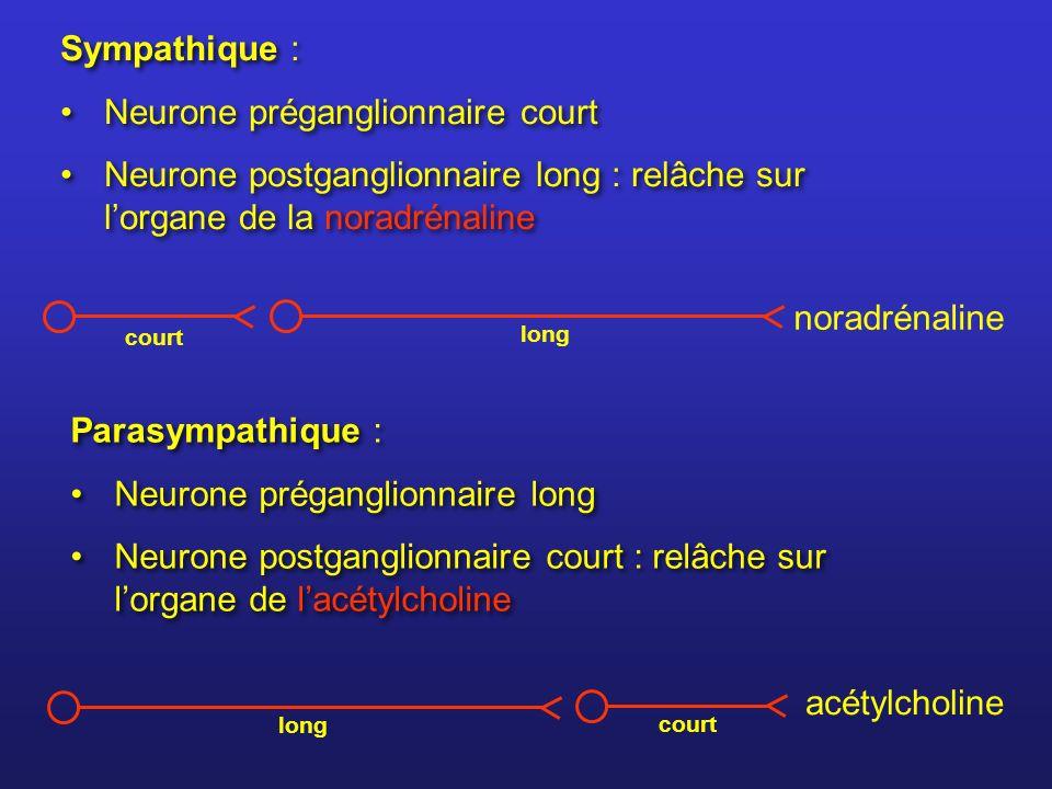 Neurone préganglionnaire court