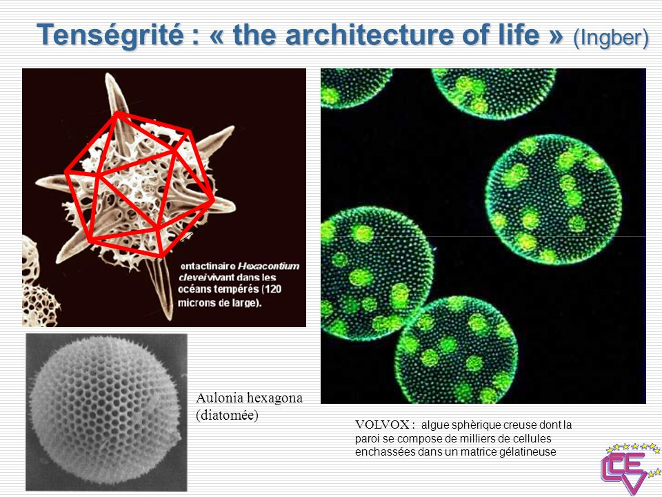 Tenségrité : « the architecture of life » (Ingber)