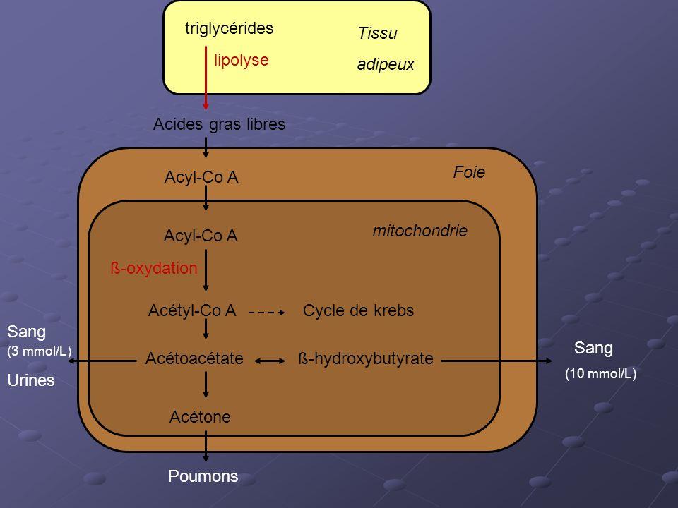 triglycérides Tissu adipeux lipolyse Acides gras libres Foie Acyl-Co A
