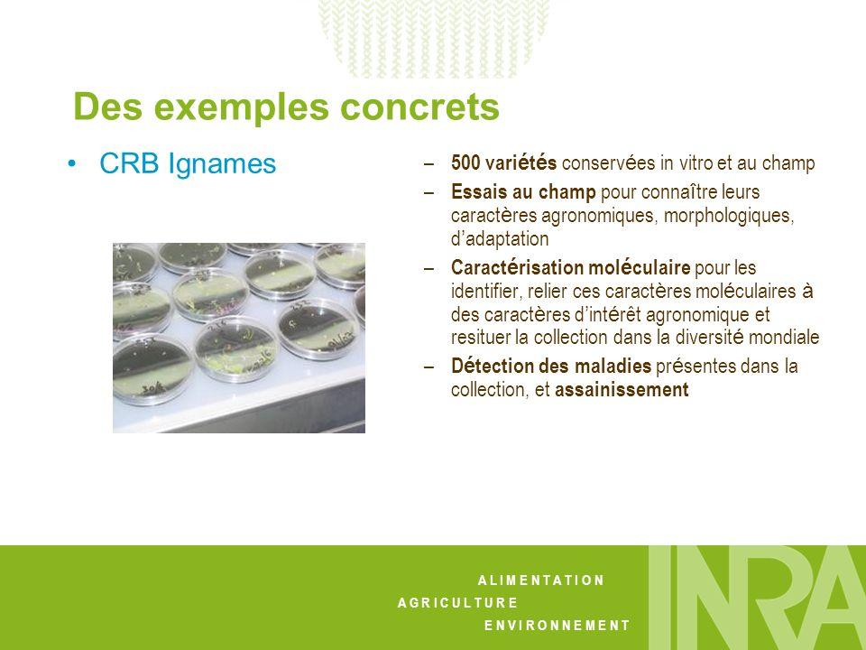 Des exemples concrets CRB Ignames