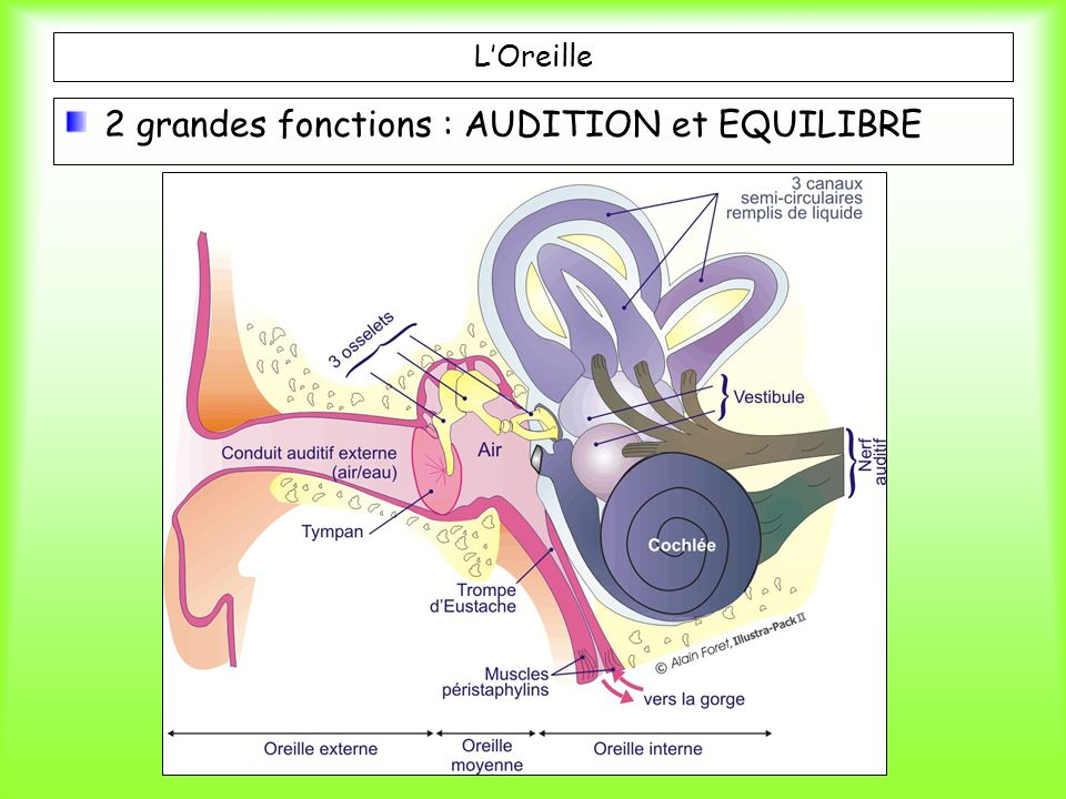2 grandes fonctions : AUDITION et EQUILIBRE